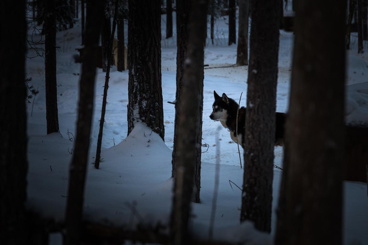 Husky #2